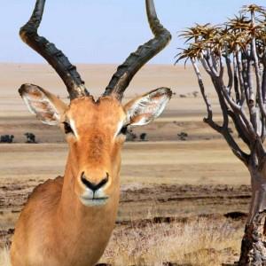 tierpraeparation-afrika-antilope-2
