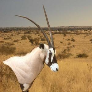 tierpraeparation-afrika-antilope
