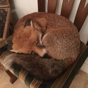 fuchs-schlafend