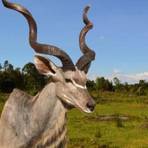 tierpraeparation-afrika-antilope-4