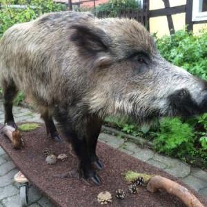 wildschwein-1