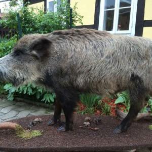 wildschwein-2